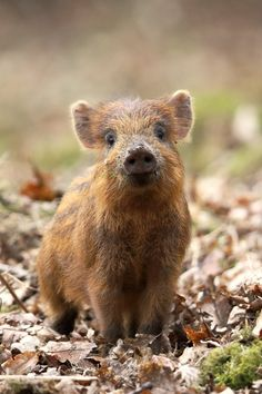 Forest of Dean Calendars: Wild boar in the Forest of Dean